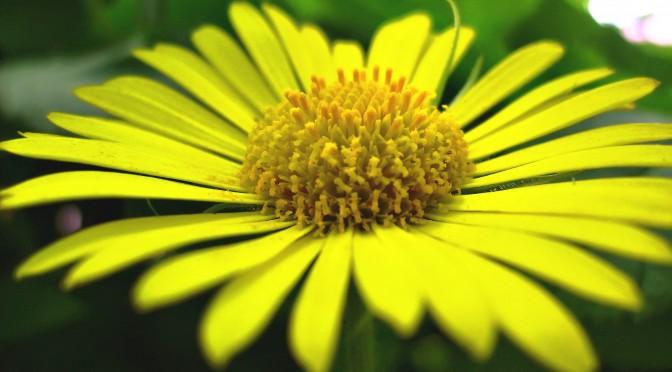 The Yellow Daisy
