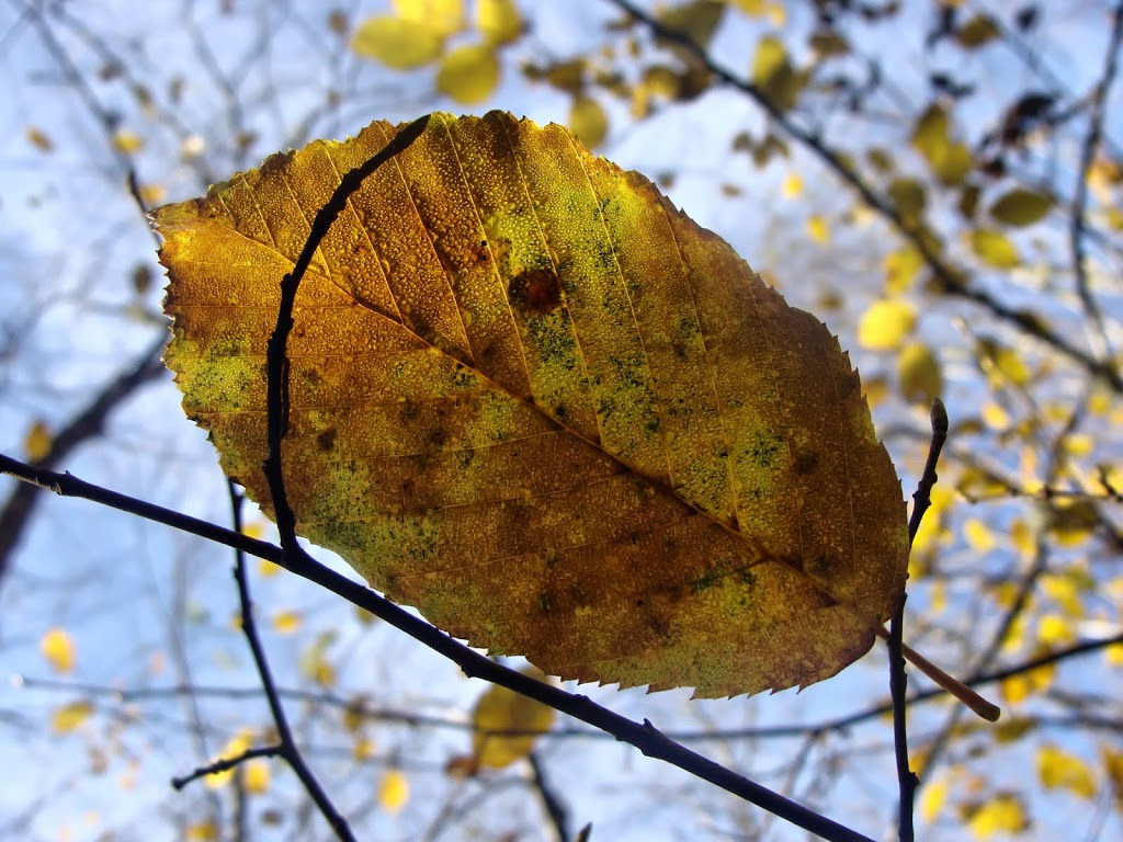 Autumn-Leaf-3