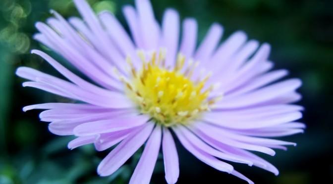 Flower – Pink