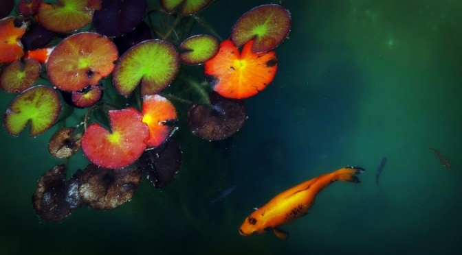 Fish and lotus plant in a pool