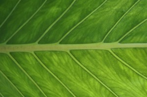 adam's leaf venation