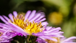 pink autumn flower hd photograph